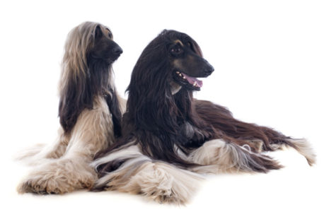 TYPE OF DOGS - Afghan Hound, afghan hound puppy