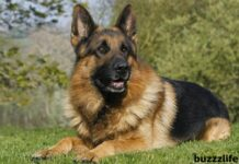 5 facts you did not know about German Shepherd dogs