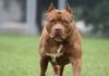 Features of pitbull dogs