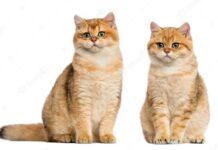 How to feed Shirazi cats