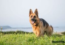 How to raise German Shepherd dogs