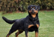How to raise Rottweilers