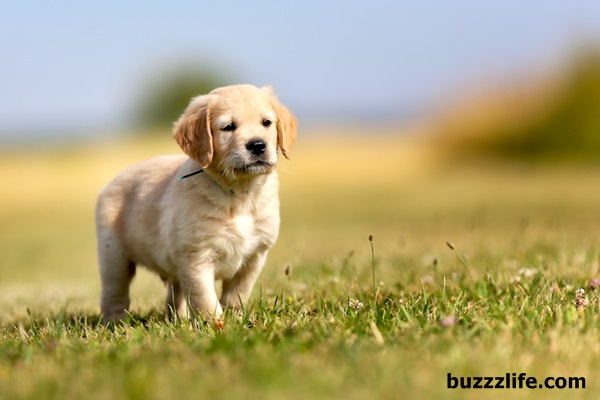 How to raise golden dogs