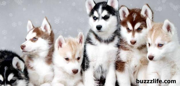 How to raise husky dogs