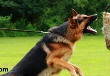 How to train German Shepherd dogs