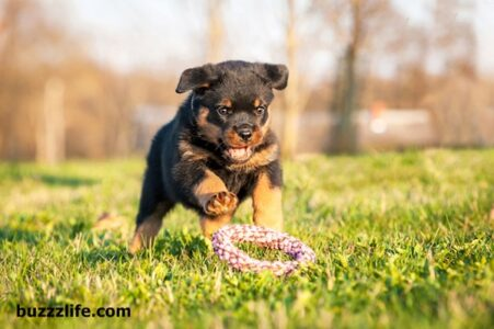 How to train a Rottweiler dog