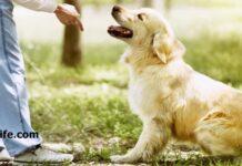 How to train golden retriever dogs