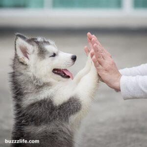 How to train husky dogs