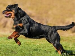 Information about the Rottweiler