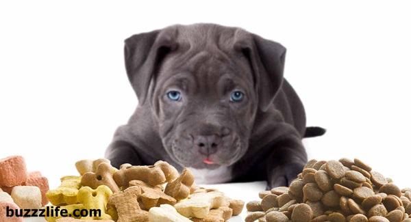 Pitbull dog feeding