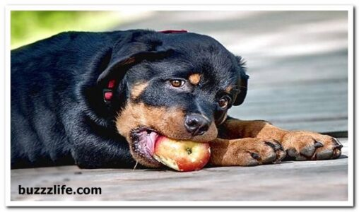 Rottweiler dog feeding