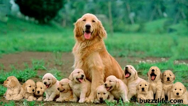 Specifications of Golden Retriever dogs